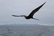 Magnificent Frigatebird (Fregata magnificens) flying<br /> ECUADOR: Galapagos Islands<br /> Floreana (Santa Maria) Island<br /> 21-Aug-2010<br /> J.C. Abbott &amp; K.K. Abbott