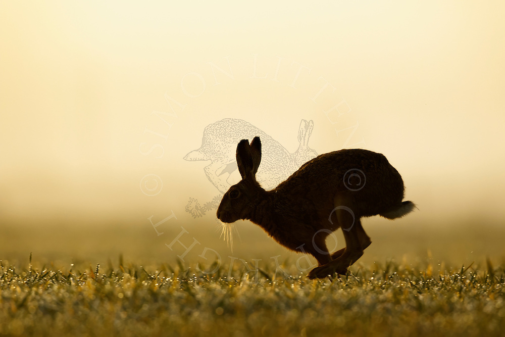 European Hare (Lepus europaeus) adult running across farmland on misty morning, Norfolk, UK.