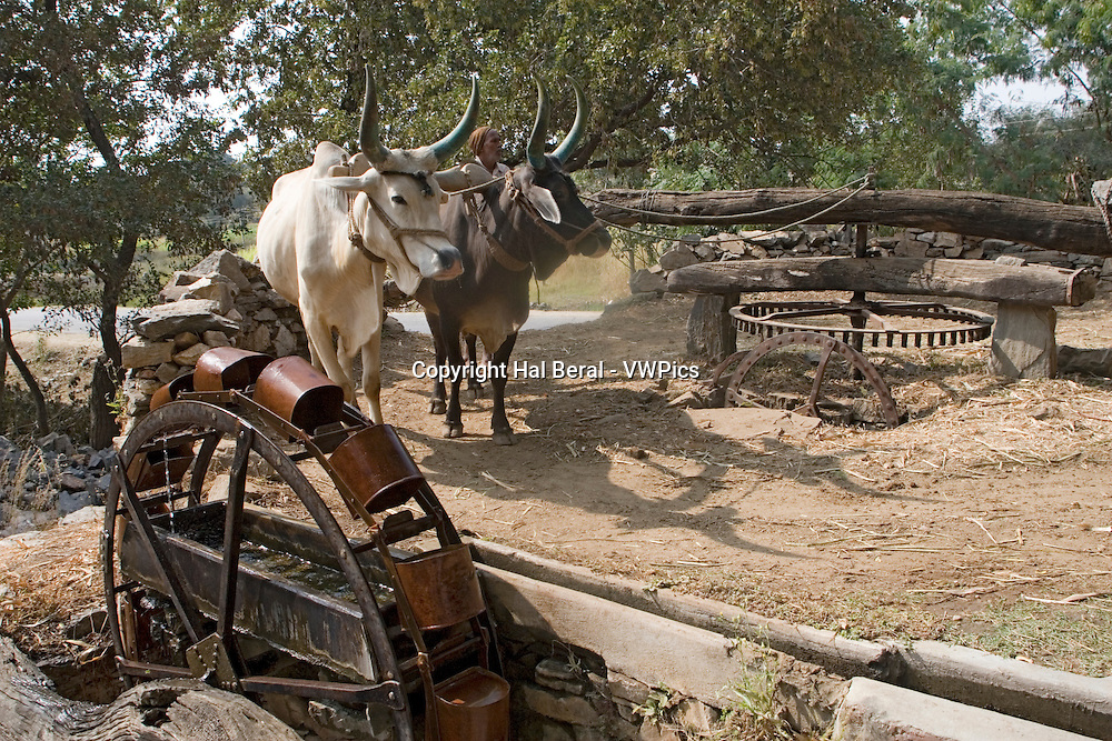 Team of oxen turn water wheel to raise water for irrigation.Rajasthan, India