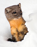 An American marten, also known as a pine marten, peeks out from its den near the Bridger Restaurant at Jackson Hole Mountain Resort.