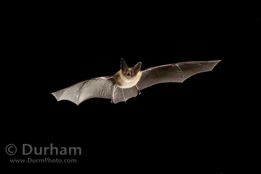 A western long-eared myotis (Myotis evotis) in flight. Deschutes National Forest, Oregon. Please note: background elements (grass) have been digitally removed from this image.