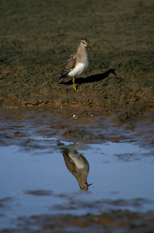 A solitary sandpiper (Tringa solitaria) is reflected in still water.