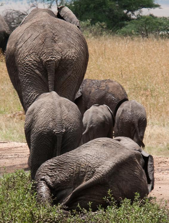 Elephant back sides