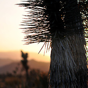 Joshua Trees at Sunset, Joshua Tree National Park
