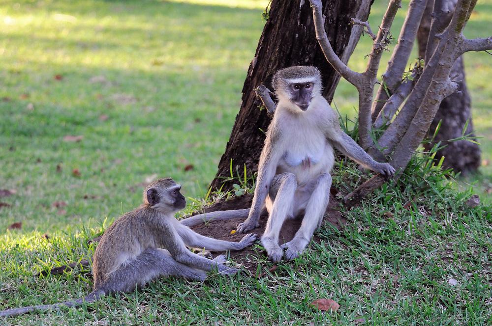 Vervet Monkey (Chlorocebus aethiops), Livingstone, Southern Province, Zambia