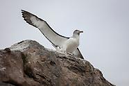 Thalassarche salvini (Salvin's Albatross)