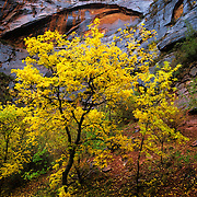 Brilliant fall color in Zion Canyon, Zion National Park, Utah.