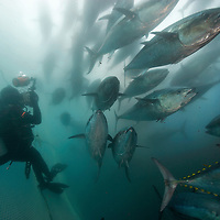 Bluefin tuna (Thunnus thynnus) in a pen off of Ensenada, Mexico