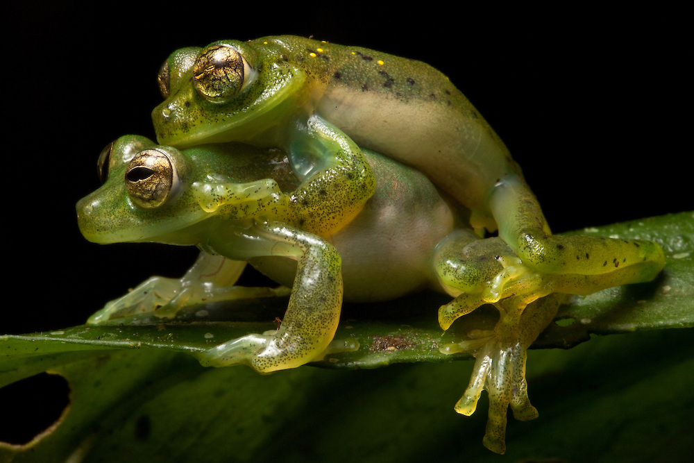 Mating Emerald glass frogs