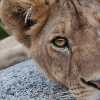 A young member of the Sametu lion pride wakes from its nap and eyes us intensely.