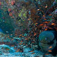Panamic Green Moray and Cardinalfishes