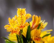 WA11657-00...WASHINGTON - Composite flower.