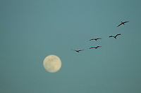 Scarlet Ibises (Eudocimus ruber) flying though the sky with the moon behind in Delta Amacuro, Venezuela.