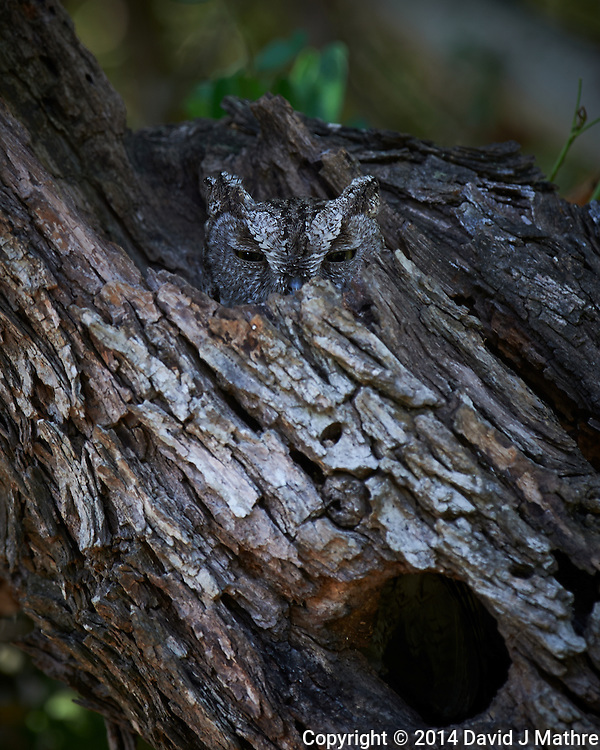 Screech Owl at Dos Vandas Ranch in Southern Texas. Image taken with a Nikon D4 camera and 500 mm f/4 VR lens (ISO 100, 500 mm, f/5.6, 1/30 sec)