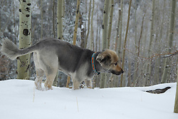 dog investigating a snow covered tree branch in an Aspen Forest