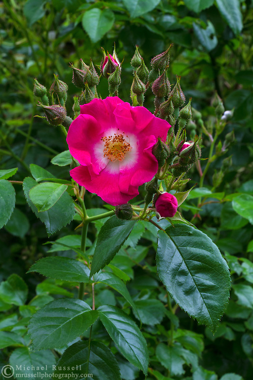 "Rambler Rose ""American Pillar"" flowers and buds"