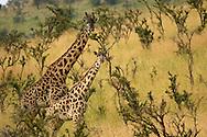 Portrait of an adult and juvenile Masai giraffe standing in grasslands.