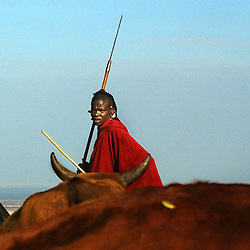 A young Maasai warrior pastoralist takes his cattle to one of the few water sources in Endulen, outside of the pristine Ngornogoro Crater in Tanzania, September 30, 2003.  The Maasai were thrown out of the Crater in 1972 in the name of conservation and are being threatened again with further land loss under a torrent of new legislation. Like other indigenous people the world over, they continue to be evicted from their land in the name of tourism and conservation. They have lived on these lands for centuries but now struggle to survive on their borders, especially in the difficult drought years. Though they were able to live in harmony with the wildlife for centuries, the places with rich water sources are now preserved for tourists.  Eco-tourism, the government solution to chronic poverty, brings in vast revenues but sadly, the dispossessed Maasai are not allowed to benefit. Only a handful, mostly foreign owned tourist operators profit and only a tiny portion of the money actually filters through to the local economy. (Photo by Ami Vitale/Getty Images)