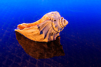 This whelk shell was photographed in Avalon  fishing pier parking lot in a small puddle over a manhole cover. The warm orange color on the shell is from the parking lot lights and the deep blue is the reflection from the twilight sky.