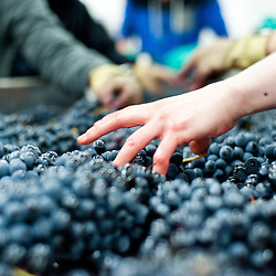 London, UK - 15 October 2013: the grapes are hand sorted to ensure that all bad bunches, rotten berries and leaves are removed before destemming at the new London Cru, the first urban winery in London.