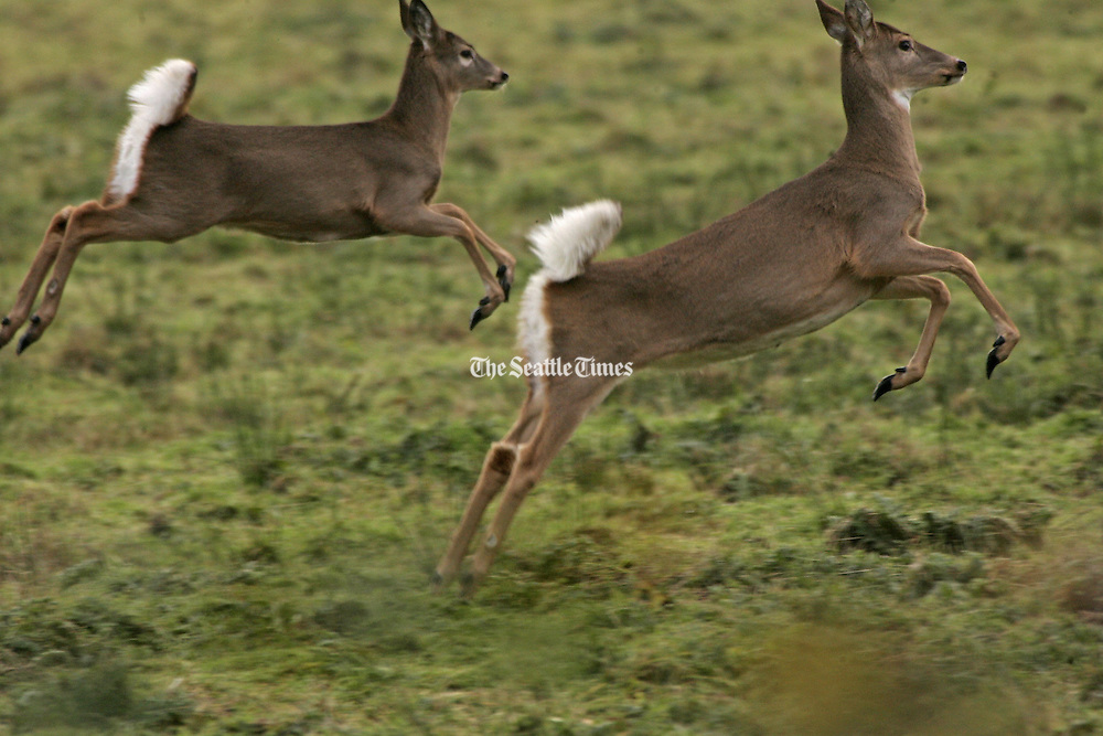 The Columbian white-tailed deer run free at the Julia Butler Hansen Refuge for the Columbian White-Tailed Deer, designed to protect and manage the remaining population of deer in the lower Columbia River valley. <br />