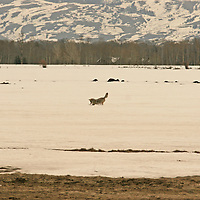 Coyote - Hunting<br />