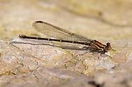 Blue-tipped Dancer (Argia tibialis) - female<br /> TEXAS: Jasper Co.<br /> Indian Creek off Hwy 63<br /> 4-Apr-2012<br /> J.C. Abbott #2572 &amp; K.K. Abbott