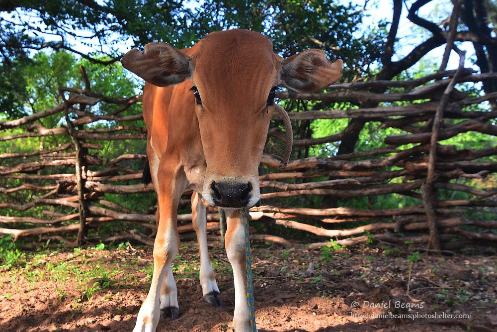 Guarani cow in Isosog