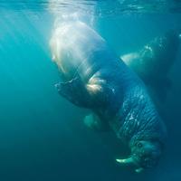 Norway, Svalbard, Tiholmane Islands, Underwater view of Walrus (Odobenus rosmarus) swimming together on summer morning
