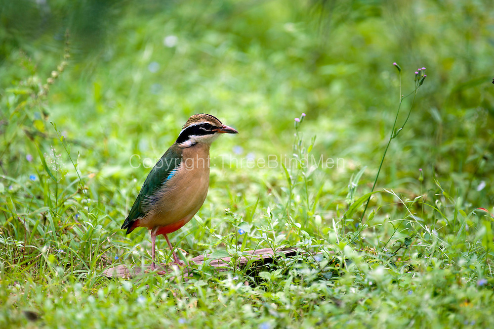 Indian Pitta at Yala National Park.