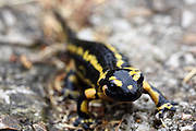 The wonderfully colourful fire salamander, seen while hiking on a foggy trail near Beges in the eastern edge of the Picos de Europa mountains