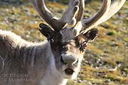 Svalbard reindeer enjoys warm sun and pastures of the short Arctic summer; Kongsfjorden, Svalbard.
