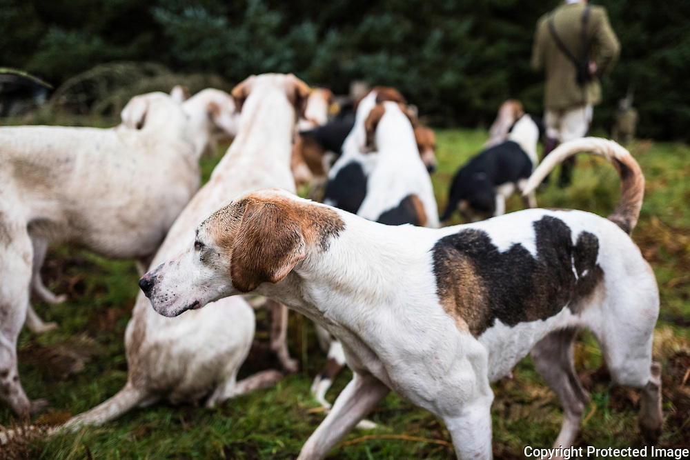 Crafty. A foxhound of the Jedforest Hunt.