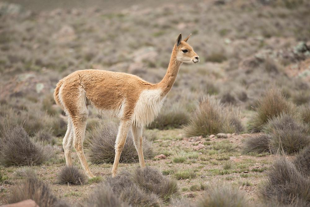 South America,Peru, Altiplano, vicuna