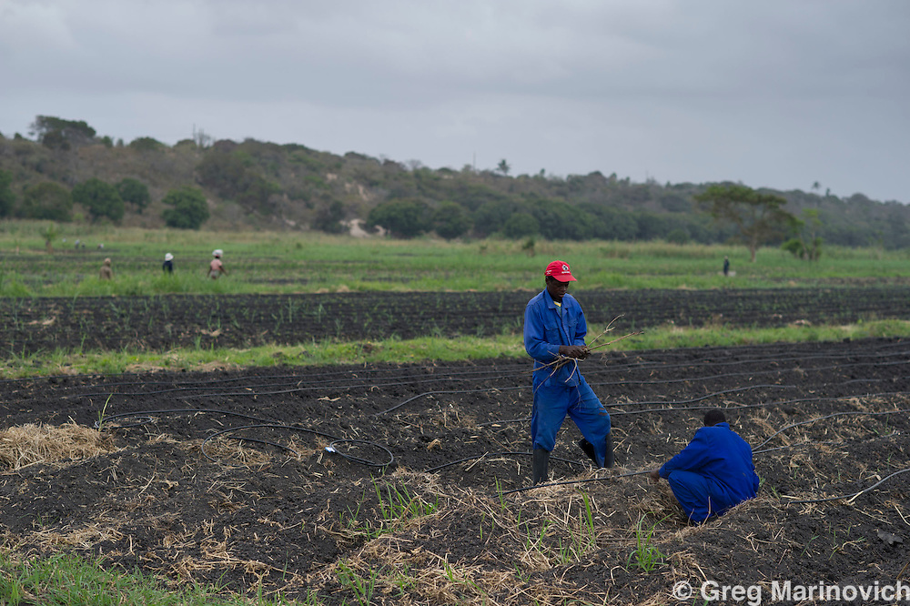 Elephant Pepper Farm, Marracuena, Mozambique. Sept 21, 2011. Male workers lay irrigation pipes before others plant Birds Eye chilli seedlings Photo Greg Marinovich/ Storytaxi