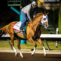 CYPRESS, CA - OCTOBER 27: California Chrome, with exercise rider Dihigi Gladney aboard gallops before his final preparation for the Breeders' Cup Classic, working 6 furlongs in 1:12 1/5 seconds at Los Alamitos Race Track on October 27, 2016 in Cypress, California. (Photo by Alex Evers/Eclipse Sportswire/Getty Images)