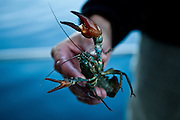 A commercially harvested crayfish from Lake Tahoe near Incline Village, Nevada, July 8, 2012.