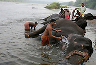 An elephant sanctuary is located near the village of Theppakadu in South India.  Government salaried mahouts, or elephant handlers, are responsible for the care and training of their own elephant,usually for the elephant's entire life.  They bathe their elephants in a nearby river early every morning- a ritual the elephants thoroughly enjoy. They scrub them  with the cones of pandanis, a local tree, until pink skin was revealed through caked dirt.
