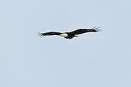 Bald Eagles of Onondaga Lake