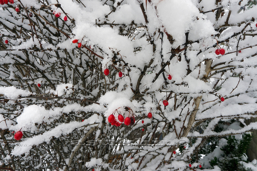Japanese Barberry under snow