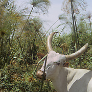Islands of Lake Chad: cattle eating papyrus.