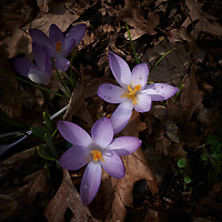 Early purple crocus blooms. Late winter nature in New Jersey. Image taken with a Leica D-Lux-5 camera (ISO 100, 8 mm, f/8, 1/160 sec).