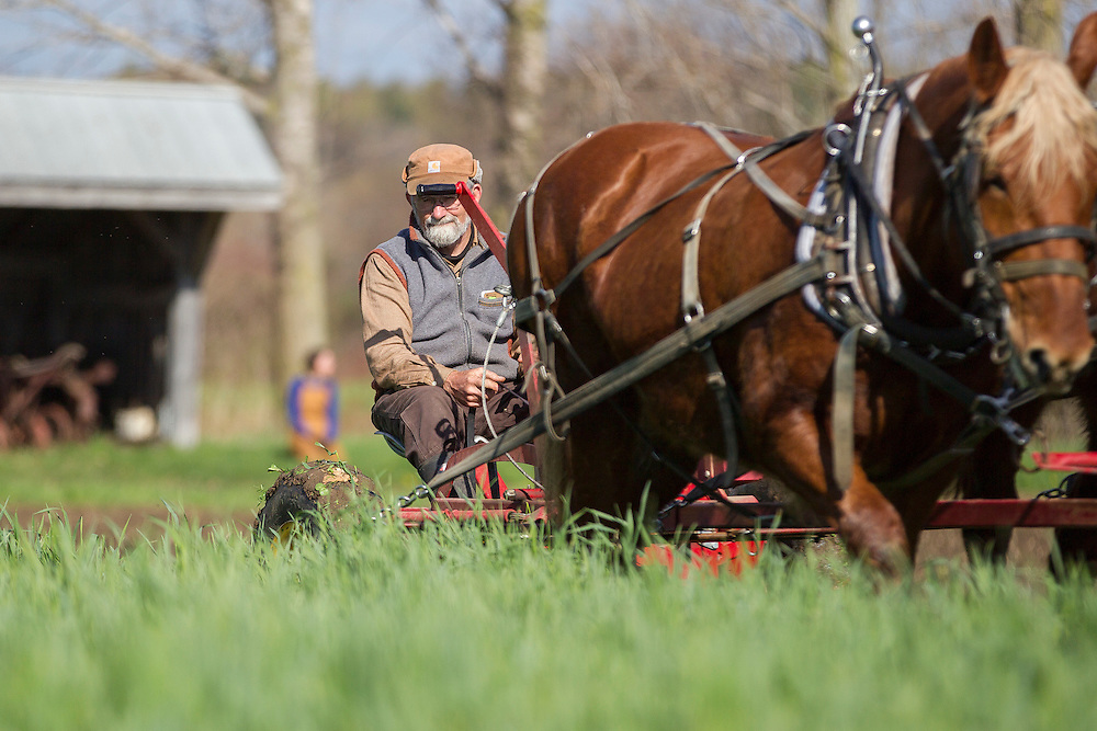 St.Thomas, Ontario ---2016-05-03--- Ken Laing of Orchard-Hill farm near St. Thomas, Ontario cuts a field of cover crop with his team of horses May 3, 2016.<br /> GEOFF ROBINS Farmers Forum