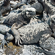 The Galapagos Marine Iguana (Amblyrhynchus cristatus) thrives on Punta (Point) Espinoza, on Fernandina (Narborough) Island, Galápagos Islands, a province of Ecuador, South America. Marine Iguanas, the world's only sea-going lizard species, are found nowhere else on earth. Marine Iguanas feed almost exclusively on marine algae, expelling the excess salt from nasal glands while basking in the sun, coating their faces with white. Marine Iguanas live on the rocky shore or sometimes on mangrove beaches or marshes. Most adults are black, some grey, and the young have a lighter colored dorsal stripe. The somber tones allow the species to rapidly absorb the warm rays of the sun to minimize the period of lethargy after emerging from the frigid water, which is cooled by the Humboldt Current. Breeding-season adult males on the southern islands are the most colorful and will acquire reddish and teal-green colors, while Santa Cruz males are brick red and black, and Fernandina males are brick red and dull greenish. The iguanas living on the islands of Fernandina and Isabela (named for the famous rulers of Spain) are the largest found anywhere in the Galápagos. The smallest iguanas are found on Genovesa Island. Fernandina Island was named in honor of King Ferdinand II of Aragon, who sponsored the voyage of Columbus.