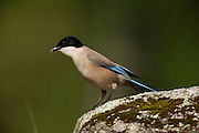 Azure-winged Magpie (Cyanopica cyana)<br /> Sierra de And&uacute;jar Natural Park, Mediterranean woodland of Sierra Morena, north east Ja&eacute;n Province, Andalusia. SPAIN<br /> HABITAT &amp; RANGE: Holm Oak groves, Olive trees, Pinewoods and Phoenician Juniper groves as well as riverside groves, wooded areas and parks and gardens. Iberian Peninsula.<br /> They are gregarious birds and usually found in small groups. Can be seen on the ground as well as on animals. They are omnivorous feeding on small invertebrates, insects, fruit, grasses, seeds, carrion and human rubbish.<br /> <br /> Mission: Iberian Lynx, May 2009<br /> &copy; Pete Oxford / Wild Wonders of Europe<br /> Zaldumbide #506 y Toledo<br /> La Floresta, Quito. ECUADOR<br /> South America<br /> Tel: 593-2-2226958<br /> e-mail: pete@peteoxford.com<br /> www.peteoxford.com