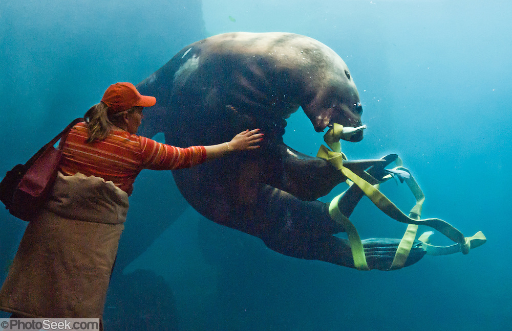 """A woman reaches for a Steller Sea Lion (Eumetopias jubatus, or northern sea lion) playing with a firehose in an aquarium tank at the Alaska Sealife Center, Seward, Alaska. Steller Sea Lions are an endangered species in parts of Alaska and threatened elsewhere in the Pacific Northwest USA. Published in """"Light Travel: Photography on the Go"""" by Tom Dempsey 2009, 2010."""