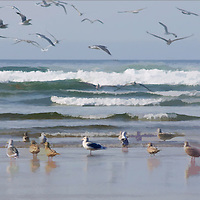 Panoramic image of a flock of Seagulls enjoying a sunny afternoon at the beach.