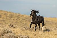 Wild mustang in Wyoming