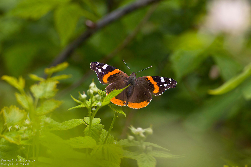Butterfly in Spring
