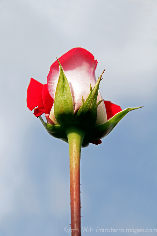 South America, Ecuador, Cayambe. Single long-stemmed rose against sky.
